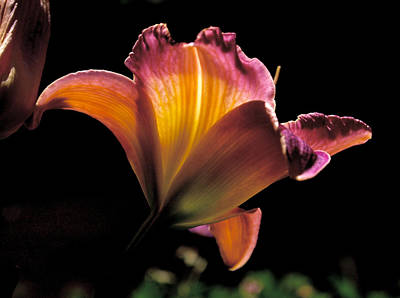 Photograph - Sunlit Lily by Rona Black