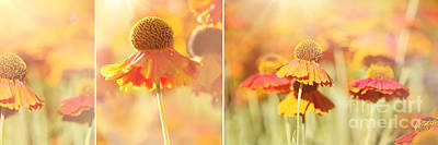Sneezeweed Photograph - Sunlit Orange Helenium Flowers Triptych by Natalie Kinnear
