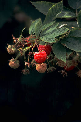 Photograph - Sunlit Raspberries - Can't Resist 'em by Michael Flood