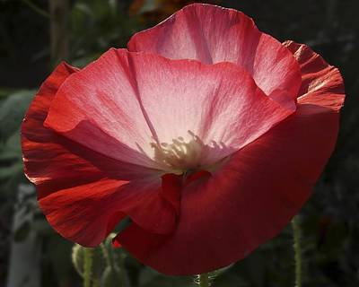 Photograph - Sunlit Red Poppy by MM Anderson