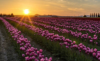 Photograph - Sunlit Spring Tulips by Mike Reid