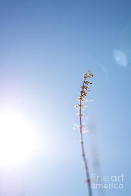 Photograph - Sunlit Weed by Cheryl Baxter