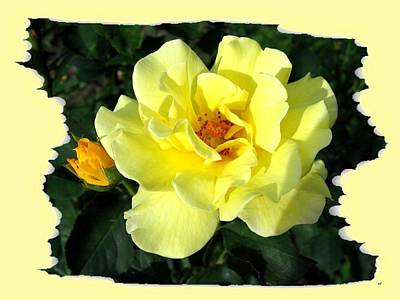 Yellow Rosebud Photograph - Sunlit Yellow Rose by Will Borden