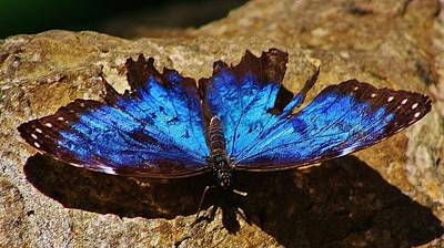 Photograph - Sunning Blue Butterfly by Bruce Bley