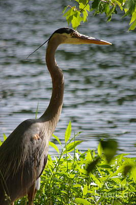 Photograph - Sunning Blue Heron by Tannis  Baldwin