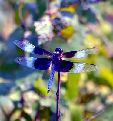 Missouri Whitetail Photograph - Sunning Dragonfly by Deena Stoddard