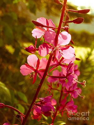Northwest Territories Photograph - Sunning Fireweed  by Lisa Killins