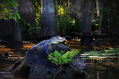 Sunning In The Louisiana Swamp Art Print by Mountain Dreams