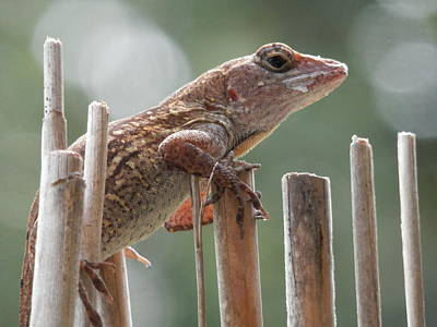 Photograph - Sunning Lizard by Belinda Lee