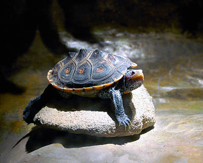 Photograph - Sunning Terrapin by Donna Proctor