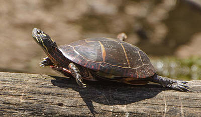 Brian Rock Wall Art - Photograph - Sunning Turtle by Brian Rock