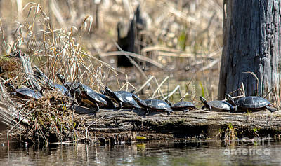 Photograph - Sunning Turtles by Cheryl Baxter