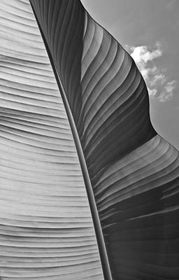 Photograph - Sunny Banana Leaf In Black And White by Eva Kondzialkiewicz