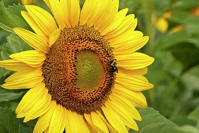Photograph - Sunny Bee by Christi Kraft
