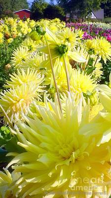 Photograph - Sunny Day Dahlias by Susan Garren