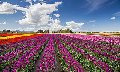 Canon 6d Photograph - Sunny Day In The Tulip Field by Pierre Leclerc Photography