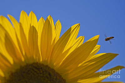 Sunny Fly By Art Print by Nick  Boren