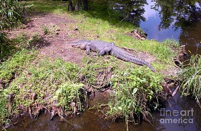 Photograph - Sunny Gator  by Joseph Baril