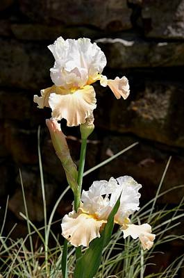 Photograph - Sunny Irises by Maria Urso