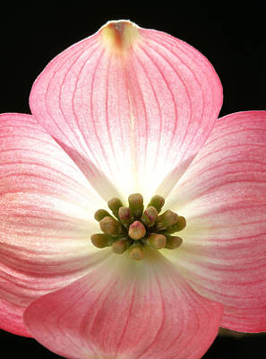 Photograph - Sunny Pink Dogwood by JC Findley