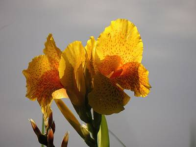 Yellow Canna Lily Photograph - Sunny Lily by Teresa Schomig