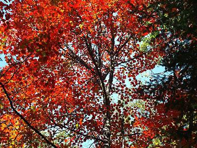 Photograph - Sunny Maple by Gene Cyr