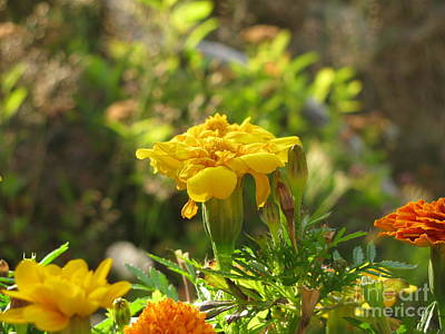 Photograph - Sunny Marigold by Leone Lund