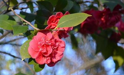 Photograph - Sunny Red Camelias by Maria Urso