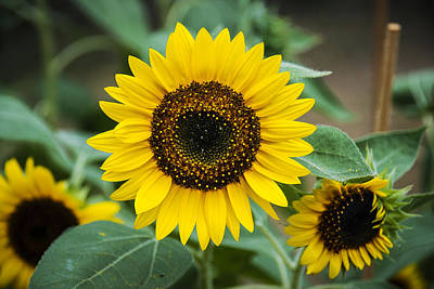 Art Print featuring the photograph Sunny Smile Sunflower by Phil Abrams