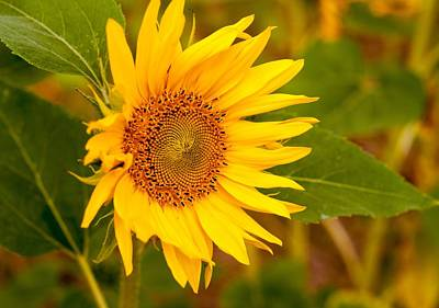 Photograph - Sunny Sunflower Fields by Miguel Winterpacht