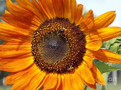 Photograph - Sunny Sunflower by Annette Allman