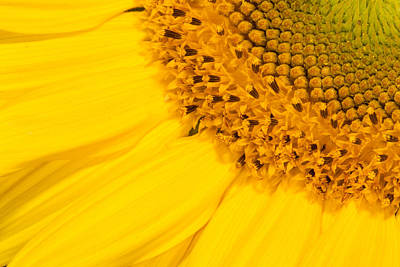Photograph - Sunny Sunflower by Bernard Lynch