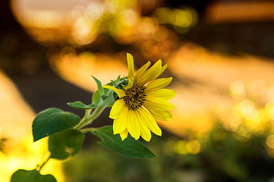 Photograph - Sunny Sunflower by Kunal Mehra