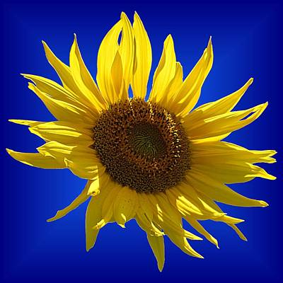 Photograph - Sunny Sunflower On Blue by MTBobbins Photography