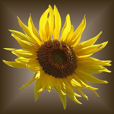 Photograph - Sunny Sunflower On Brown by MTBobbins Photography