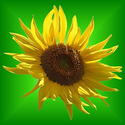 Photograph - Sunny Sunflower On Green by MTBobbins Photography