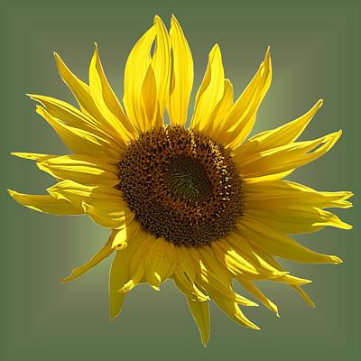 Photograph - Sunny Sunflower On Olive by MTBobbins Photography