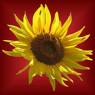 Photograph - Sunny Sunflower On Red by MTBobbins Photography