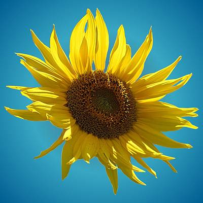 Photograph - Sunny Sunflower On Sky Blue by MTBobbins Photography