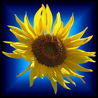 Photograph - Sunny Sunflower On The Blues by MTBobbins Photography