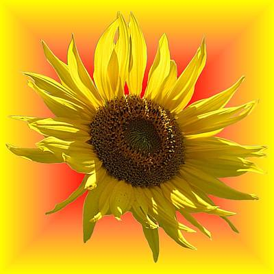 Photograph - Sunny Sunflower On Warm Colors by MTBobbins Photography