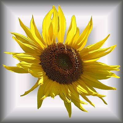 Photograph - Sunny Sunflower On White by MTBobbins Photography