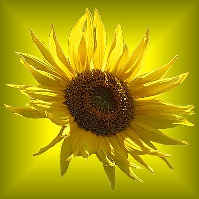 Photograph - Sunny Sunflower On Yellow by MTBobbins Photography