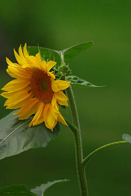 Photograph - Sunny Sunflower by Wanda Jesfield