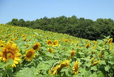Photograph - Sunny Sunflowers by Ishana Ingerman