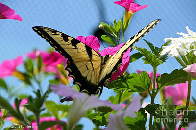Photograph - Sunny Tiger Swallowtail  by Susan Herber