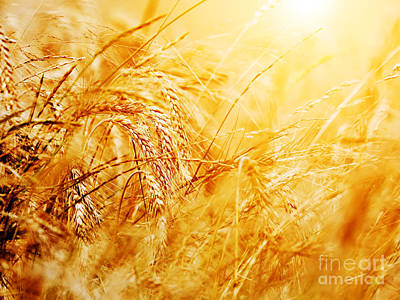 Corn Photograph - Sunny Wheat Field Closeup by Michal Bednarek