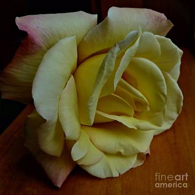 Photograph - Sunny Yellow Rose by Patricia Strand