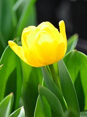 Sunny Yellow Tulip Art Print by Maria Urso