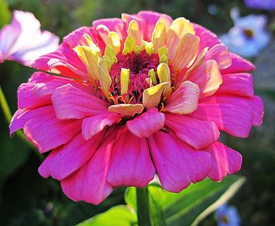 Photograph - Sunny Zinnia by MTBobbins Photography